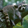 raccoon by millicon