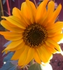 yellow sunflower in garden
