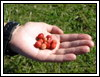2004 Strawberry