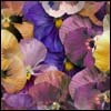 perfectly_pansy