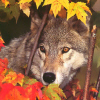 Айка: волк