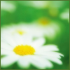 brightdaisies userpic