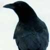 crow_whisperer