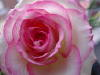 pink_rose_elf userpic