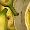 Erudite Banana