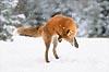 grinning_fox