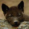 Волчонка: pic#22261156
