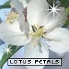 lotuspetals userpic