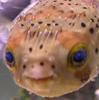 Issokay Today: The Porcupine Pufferfish Formerly Known