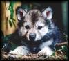 волчонок от Дуняши
