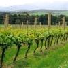 Vines (Domaine Chandon Yarra Valley)