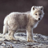 арктический волчонок