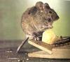 Ирина АКА Лидаэли: Мышь