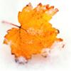 листок в снегу