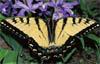 Sad Swallowtail