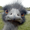 Issokay Today: Evil Emu