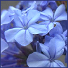 mesascaper: blue flowers