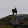 Cow on a hill