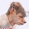 shagbark: coyote Phil