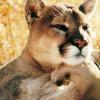 Pondering Cougar