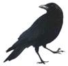 corvuscaecus userpic