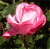 juniper_rose userpic
