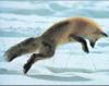 Foxe: jumping fox
