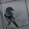 Birding, Shrike