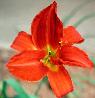 redlily userpic