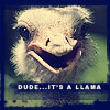 llama-lvlwing