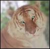 chaitabbytiger userpic