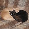 burmese_cats