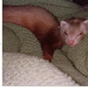lilithferret userpic