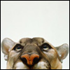 Cat: Puma Peeking