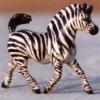 Zebra Strut