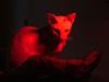 Красная кошка