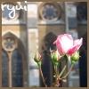 Westminster Rose