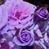 purple_tsuyoi userpic