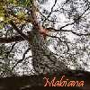 Mabiana: Baum