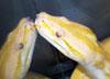 gopeding_snake userpic