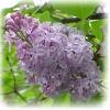 Janne: lilac