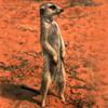 meerkats have a motto!