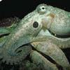 count_octopus userpic