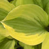 A radiant bundle of fascinating contradictions: hosta
