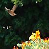 hummingbird - distant