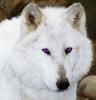 vixie_de_wolf userpic