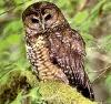 Aite: owl