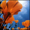 ...and you don't stop: cali poppies
