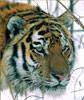 Lira: Тигрик