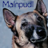 malnpudl / malinois by lostgirlslair